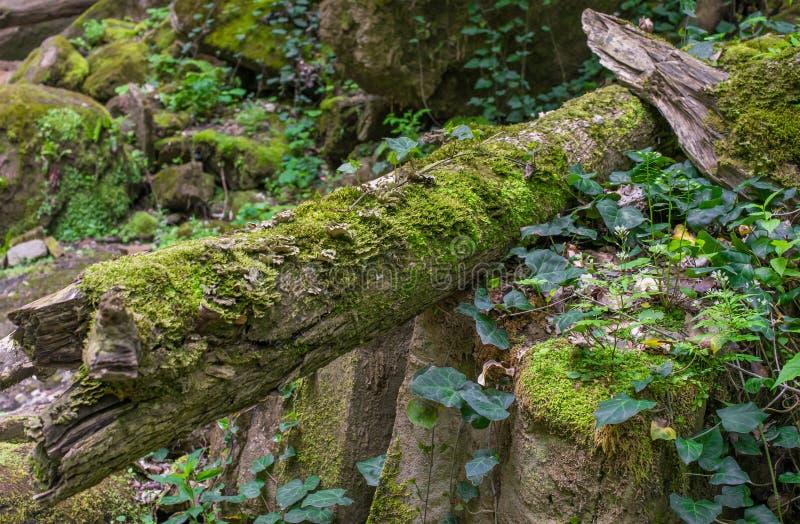 Les feuilles de vert de la loche tressent les pierres et les rondins couverts de mousse photos stock