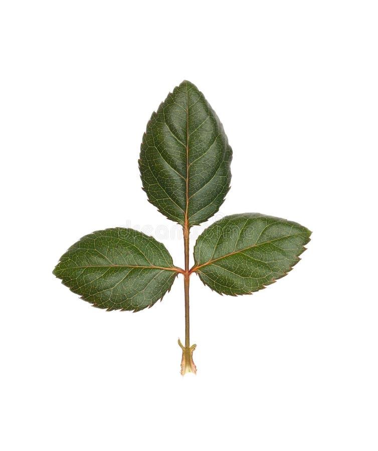 Les feuilles des roses d'isolement sur le fond blanc photos stock