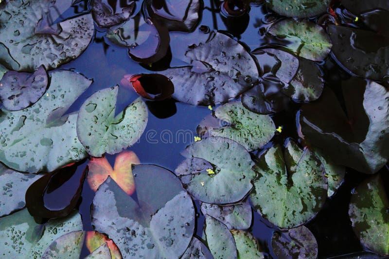 Les feuilles du nénuphar dans l'eau photographie stock