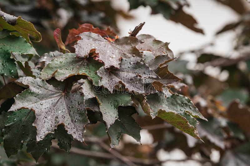 Les feuilles et les brindilles de l'érable rouge photos stock