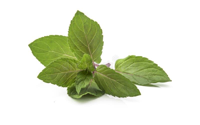 Les feuilles fraîches de la menthe de chocolat au fond blanc photo stock