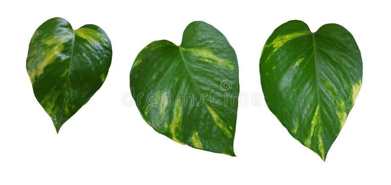 Les feuilles jaunes vertes en forme de coeur de vigne ont placé, le devil& x27 ; lierre de s, p d'or photographie stock libre de droits