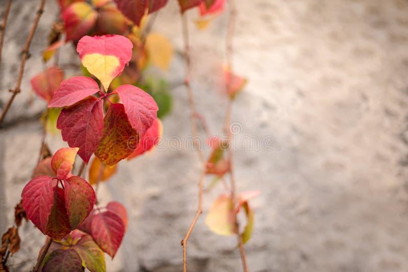 Les feuilles ont tourné le rouge pendant quelques semaines pendant la saison d'automne, fin vers le haut de vue d'hélice de Heder image libre de droits