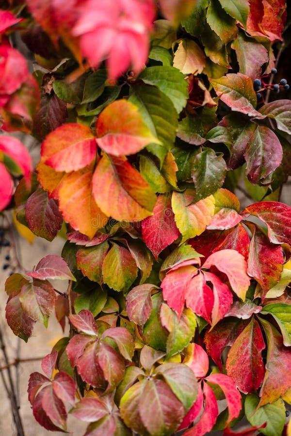 Les feuilles ont tourné le rouge pendant quelques semaines pendant la saison d'automne, fin vers le haut de vue d'hélice de Heder photo stock