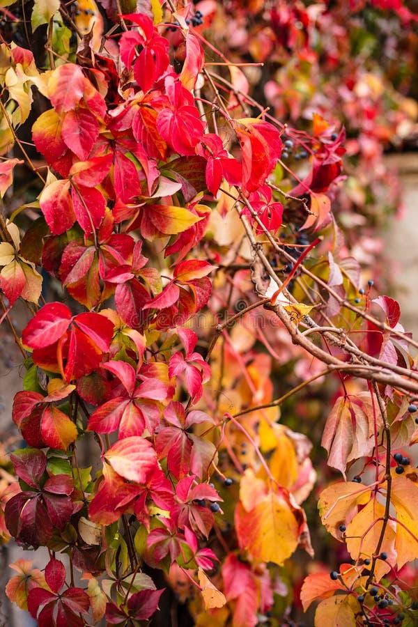 Les feuilles ont tourné le rouge pendant quelques semaines pendant la saison d'automne, la fin vers le haut de la vue de l'hélice images libres de droits