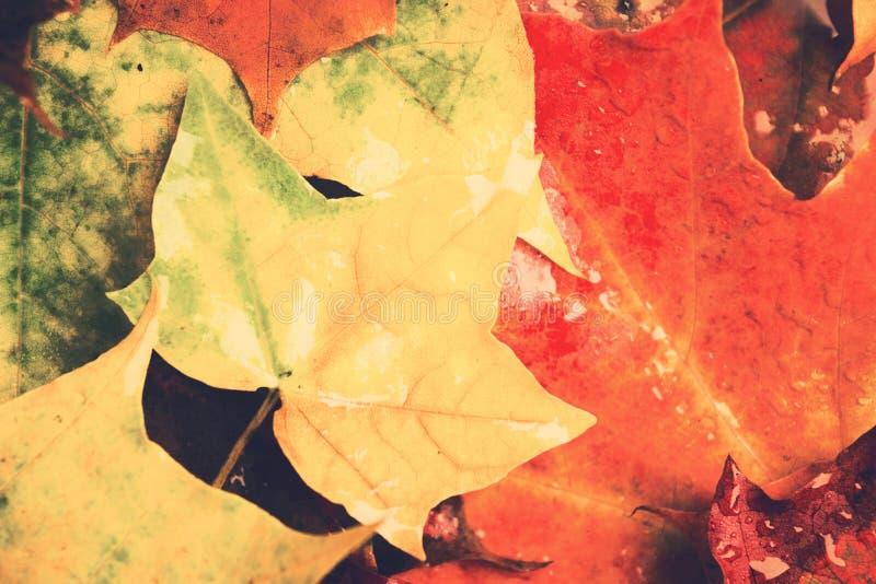 Les feuilles pluvieuses d'érable d'automne conçoivent le fond avec le plan rapproché, l plat photo stock