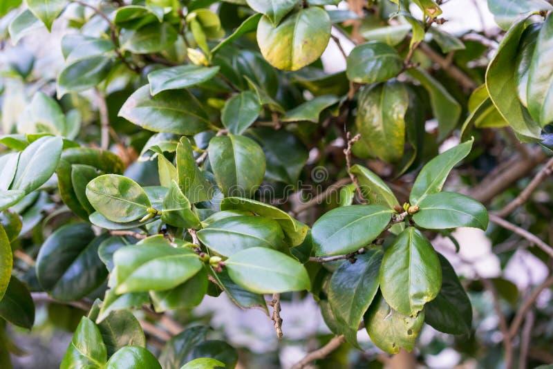 Les feuilles se ferment de l'usine alba de cognassier du Japon de camélia photo libre de droits