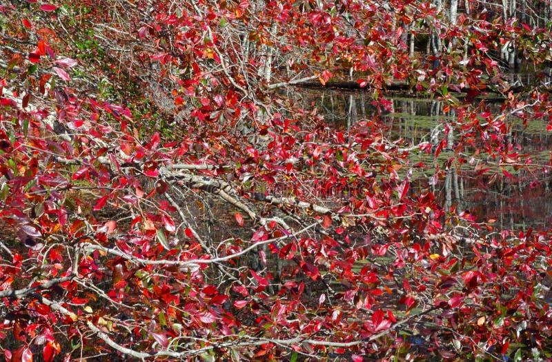 Les feuilles tournent le rouge ardent image stock