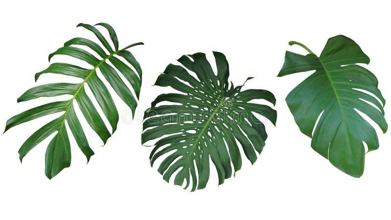 Les feuilles tropicales ont placé d'isolement sur le fond blanc, chemin de coupure images stock