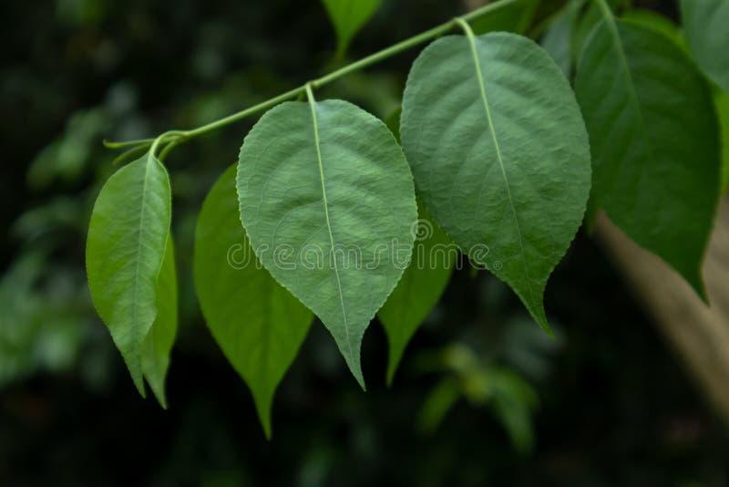 Les feuilles-Ulmus pumila L arkivbilder