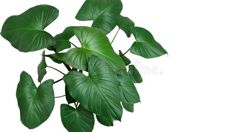 Les feuilles vert-foncé en forme de coeur de Homalomena plantent Homalomena R image stock