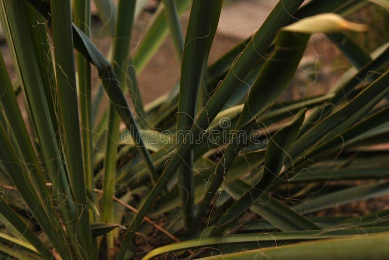 Les feuilles vertes d'usine de yucca se développe sur un lit dans la cour photos stock