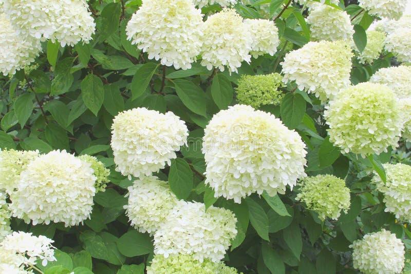 Download Les Feux De La Rampe De Paniculata D'hortensia De Fleurs, Pays-Bas Image stock - Image du affaires, organique: 76084505