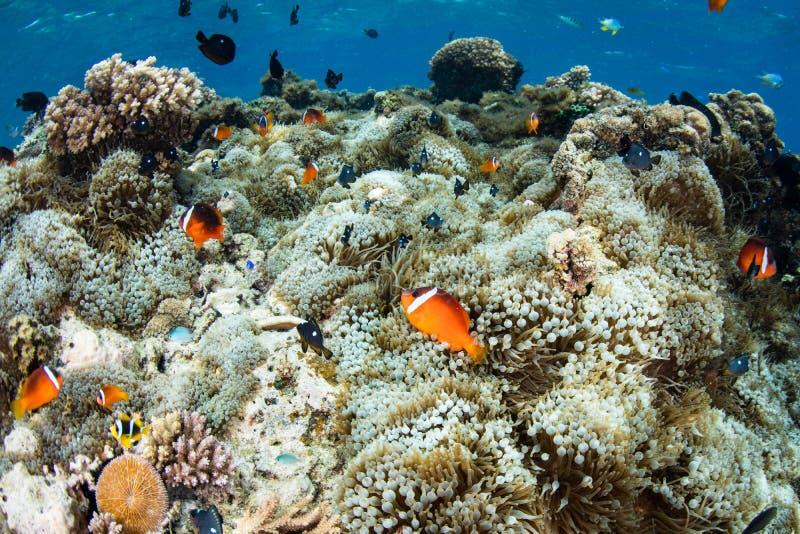 Les Fidji Anemonefish et anémones photographie stock