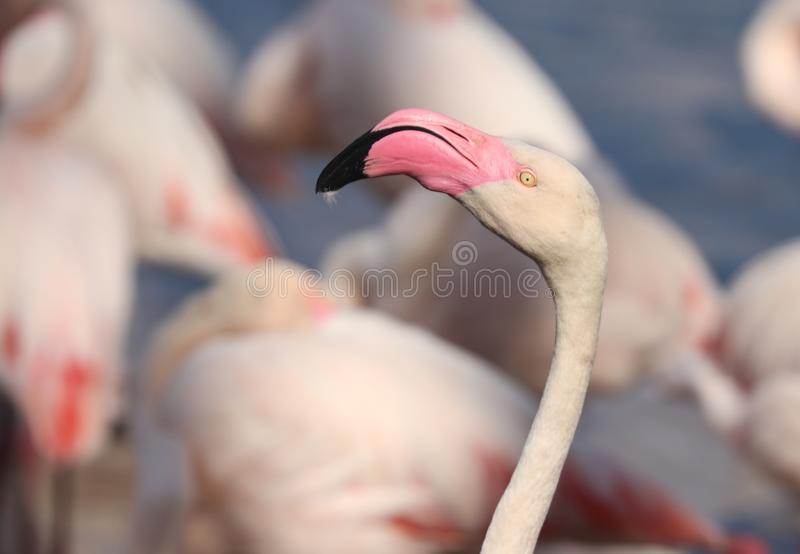 Les flamants ou les flamants sont un type de patauger l'oiseau dans le Phoenicopteridae de famille images stock