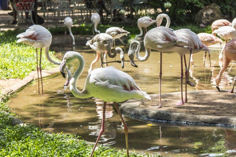Les flamants, Parque DAS Aves, Foz font Iguacu, Brésil photo libre de droits