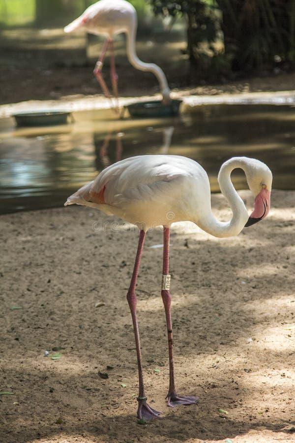 Les flamants, Parque DAS Aves, Foz font Iguacu, Brésil images libres de droits