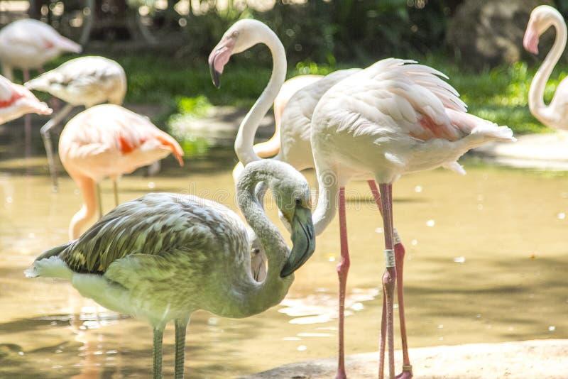 Les flamants, Parque DAS Aves, Foz font Iguacu, Brésil image stock