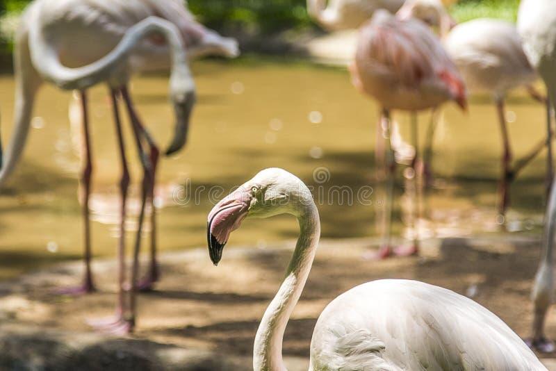 Les flamants, Parque DAS Aves, Foz font Iguacu, Brésil photographie stock libre de droits