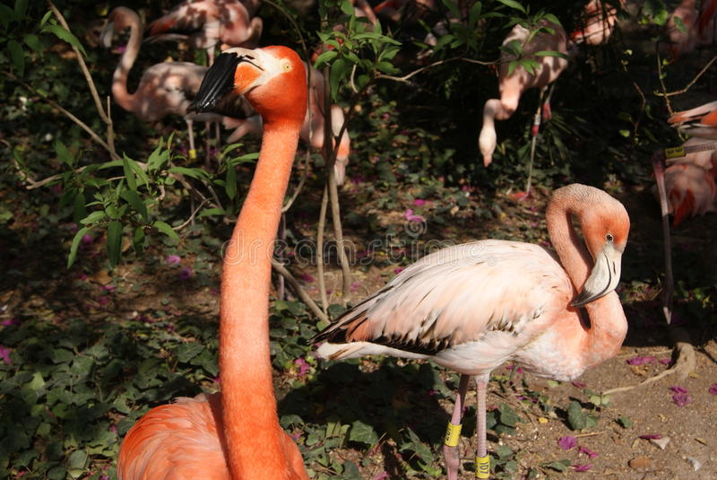 Les flamants roses photos stock