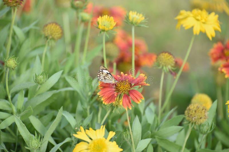 Les fleurs assez colorées en plein ressort fleurissent avec le papillon photographie stock libre de droits