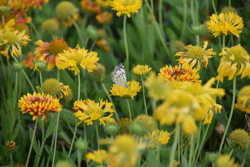 Les fleurs assez colorées en plein ressort fleurissent avec le papillon image stock