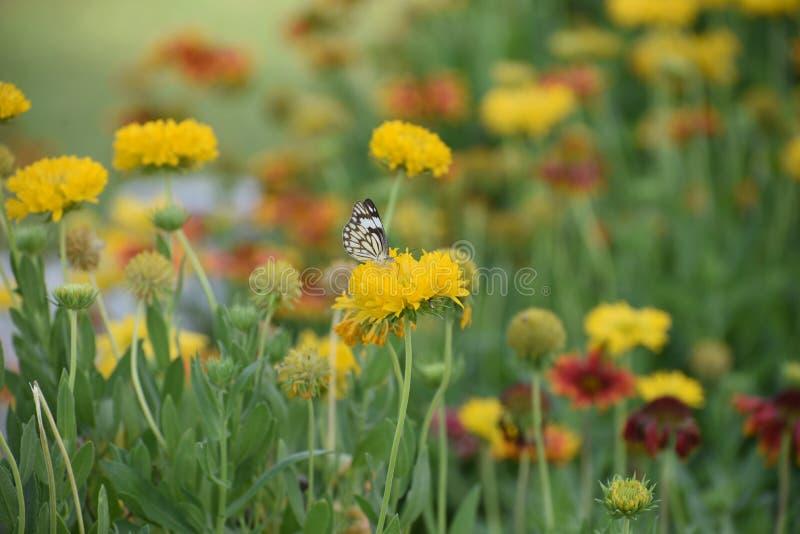 Les fleurs assez colorées en plein ressort fleurissent avec le papillon images libres de droits