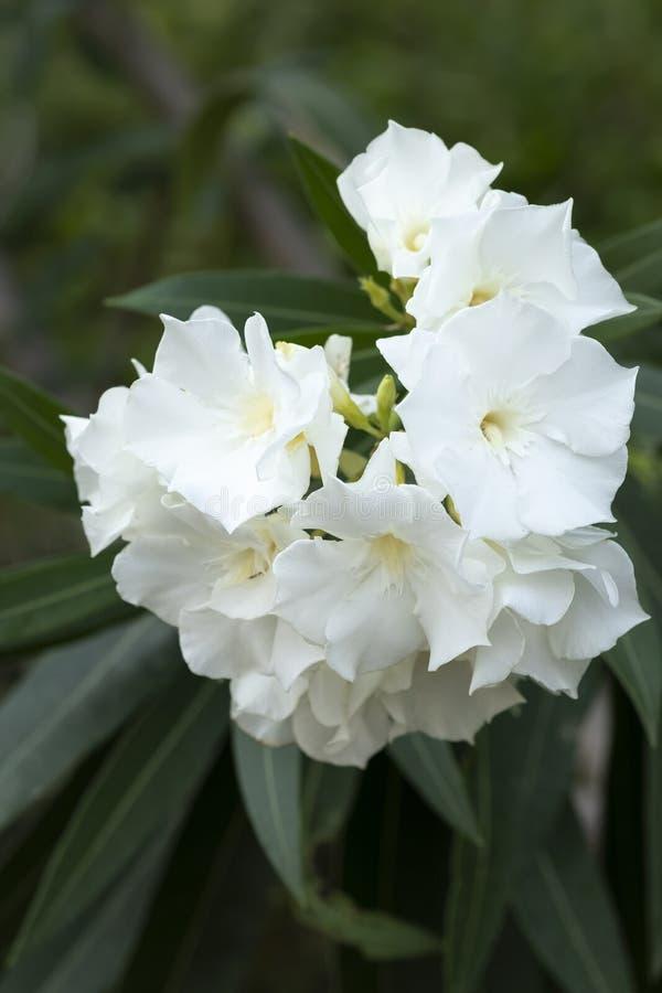 Les fleurs blanches d'oléandre et les feuilles vertes sur des branches se ferment  photo libre de droits