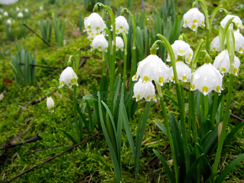 Les fleurs blanches de crocus accrochent bas au printemps la pluie photographie stock libre de droits
