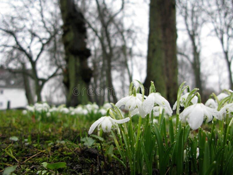 Les fleurs blanches de crocus accrochent bas au printemps la pluie photos stock