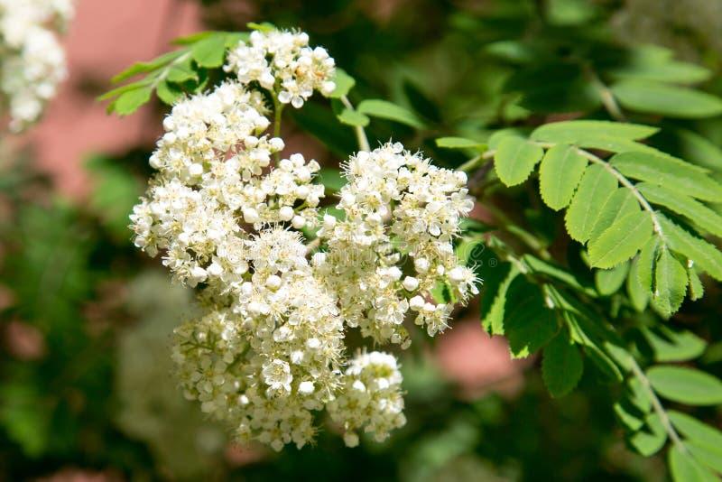 Les fleurs blanches de la cendre de montagne sur un fond des feuilles vertes au printemps un jour ensoleill? clair photo stock