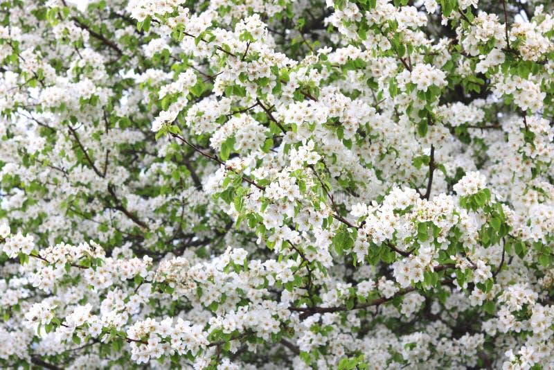 Les fleurs blanches de pomme et le pommier vert part dans le jardin de pomme par temps ensoleillé beau au printemps photo libre de droits