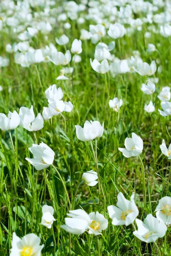 Les fleurs blanches de premier ressort images stock