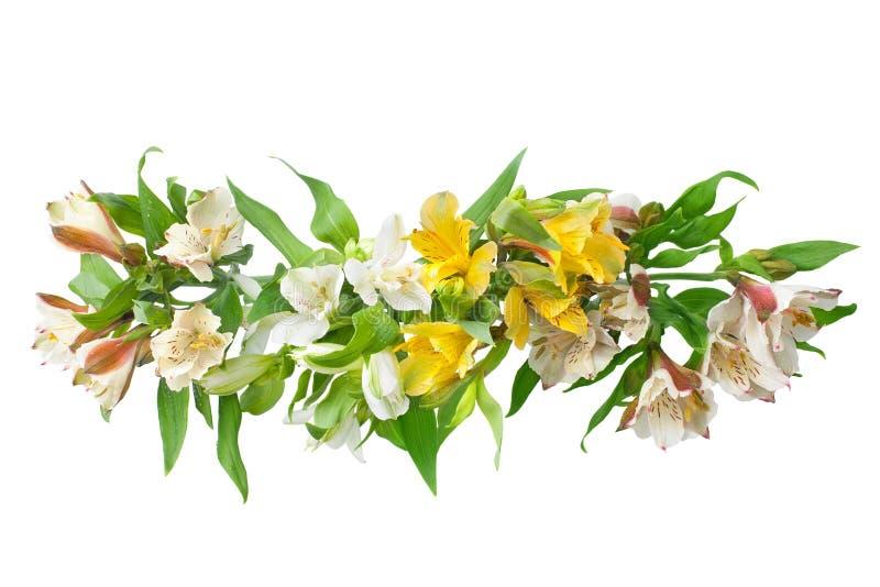 Les fleurs blanches et jaunes d'alstroemeria s'embranchent sur la fin d'isolement par fond blanc  images stock
