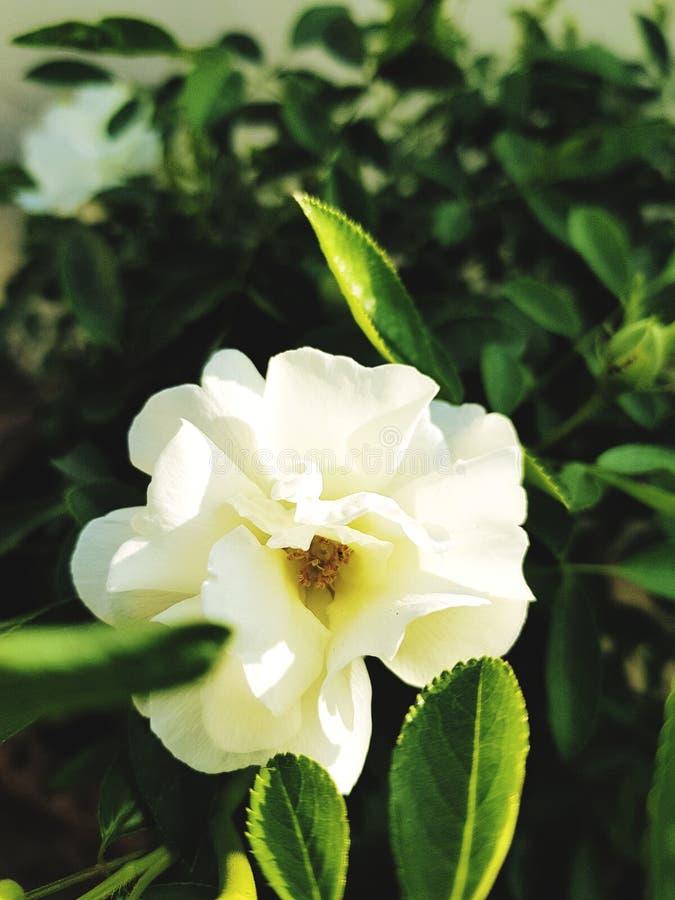 Les fleurs blanches ont aimé par tous photo stock