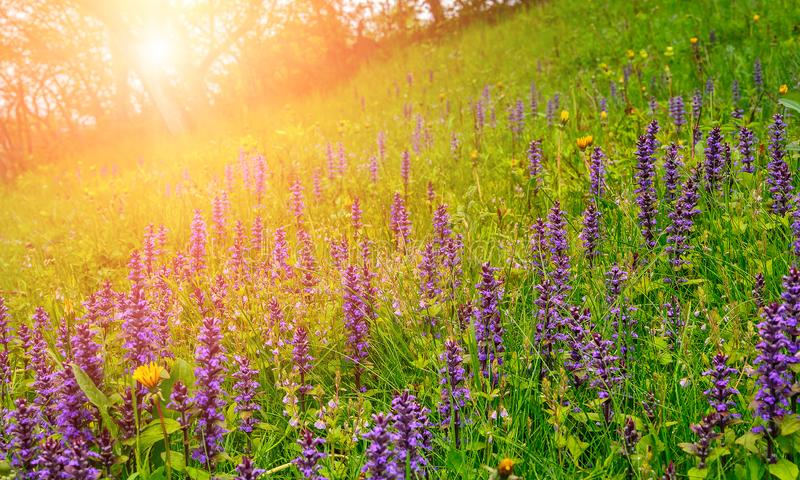 Les fleurs bleues et l'herbe verte avec des baisses mouillent, fin, sur le pré dans le matin image libre de droits