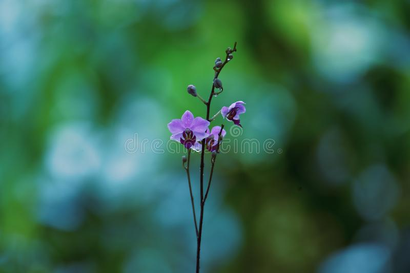 Les fleurs bleues violacées se développent et fleurissent photo stock