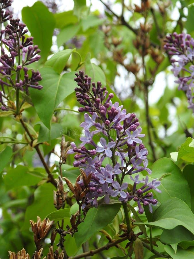 Les fleurs d'arbre sont presque en pleine floraison photo libre de droits
