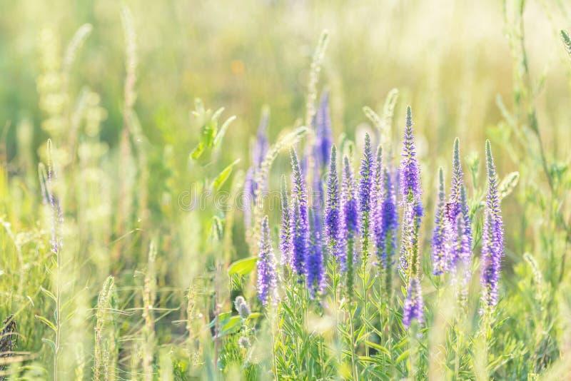 Les fleurs d'herbe d'été se ferment dans le domaine Contre-jour de coucher du soleil, image stock