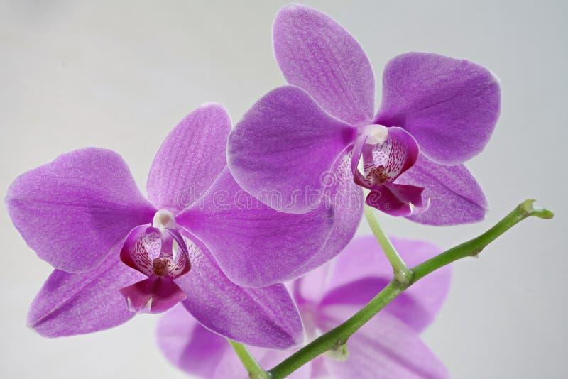 Les fleurs d'orchidée ressemblent à la bouche fanged image stock