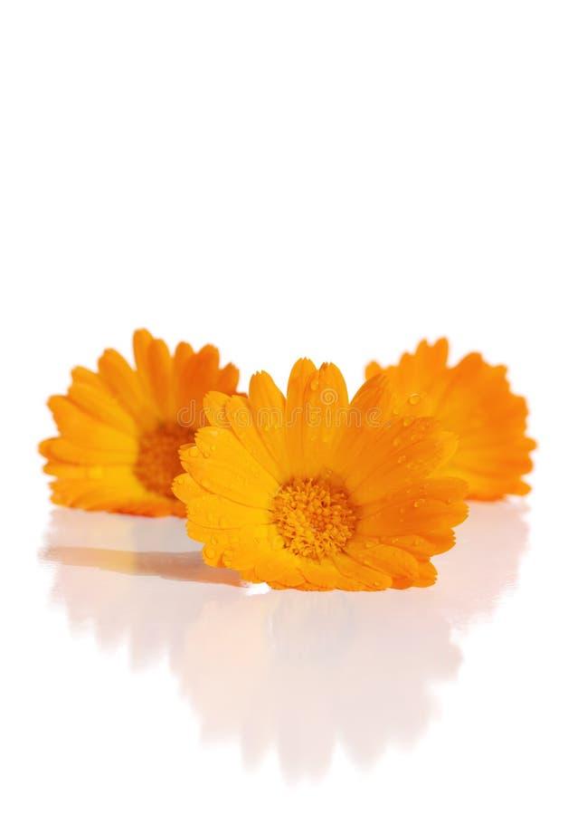 Les fleurs d'un calendula image libre de droits
