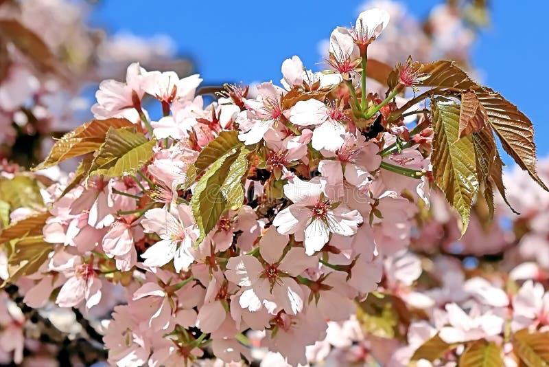 Les fleurs de belles fleurs de cerisier se ferment au printemps  image libre de droits