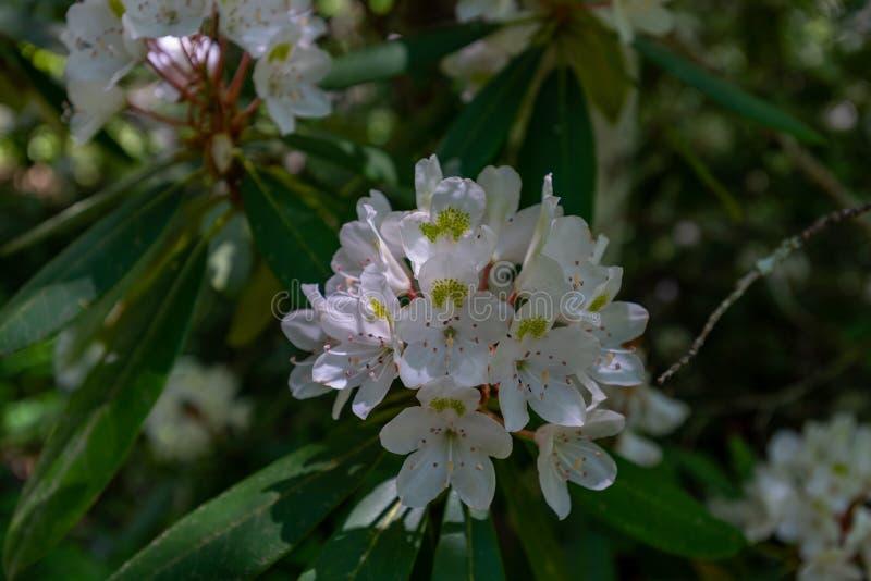 Les fleurs de Blackberry fleurissent en début de l'été photos libres de droits