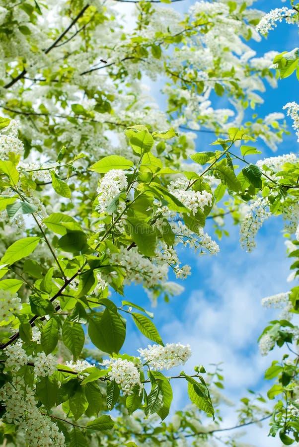 Les fleurs de cerisier d'oiseau de branches photo stock