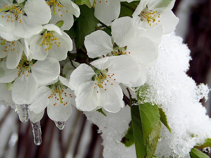 Les fleurs de cerisier gèlent parce qu'une neige tard closeup photographie stock