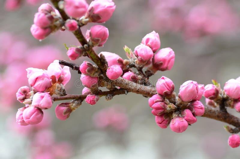 Les fleurs de cerisier roses bourgeonnent presque prêt à s'ouvrir pour la saison de Sakura de ressort du ` s du Japon photos libres de droits