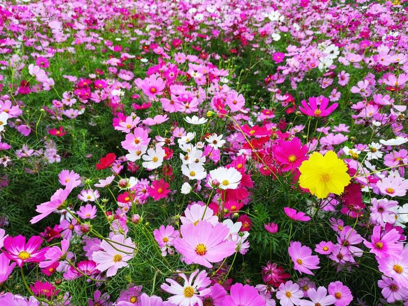Les fleurs de cosmos sont ensemble de floraison au fond photos libres de droits