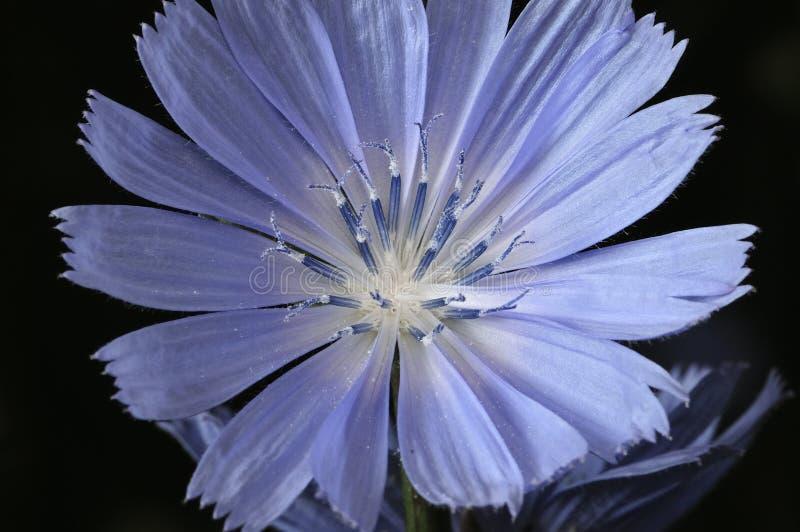Les fleurs de fleur d'intybus commun de chicorée ou de Cichorium ont généralement appelé les marins bleus, chicorée, mauvaise her photos libres de droits