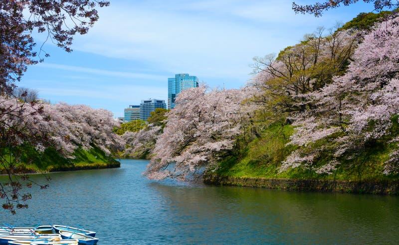 Les fleurs de fleur de cerisier apportent la couleur de ressort aux banques du beau fossé de Chidorigafuchi à Tokyo, Japon photo libre de droits