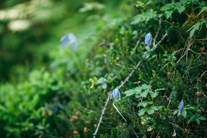 les fleurs de floraison bleues se ferment dans l'herbe verte avec le sapin image stock